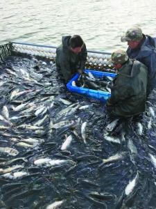 水库网箱清理卖鱼